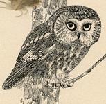 Saw-whet Owl 2005 thumbnail © Carolyn Rutgers Clark