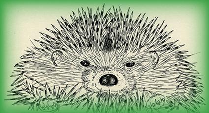 European Hedgehog © Carolyn Rutgers Clark
