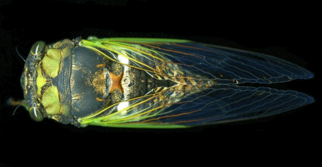 One Cicada Gem-like Life © Catherine Rutgers 2012