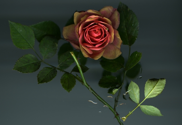 Last Rose Standing © Catherine Rutgers 2013
