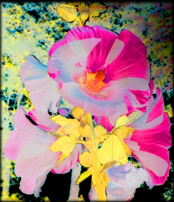A Transformation of Hollyhocks in Sunlight © Catherine Rutgers 2014