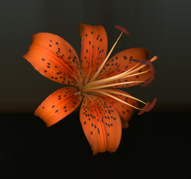 Tiger Lily © Catherine Rutgers 2014