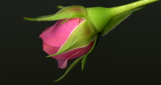 Rosebud © Catherine Rutgers 2014