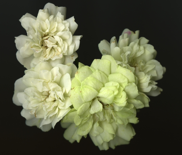 Rose Cluster of Miniature Whites © Catherine Rutgers 2014