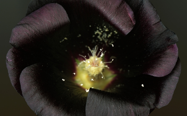 Black Hollyhock © Catherine Rutgers 2014