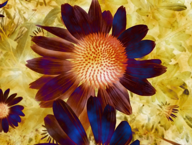 Coneflower Flux © Catherine Rutgers 2015