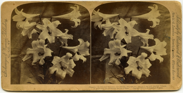 Consider the Lilies 1895