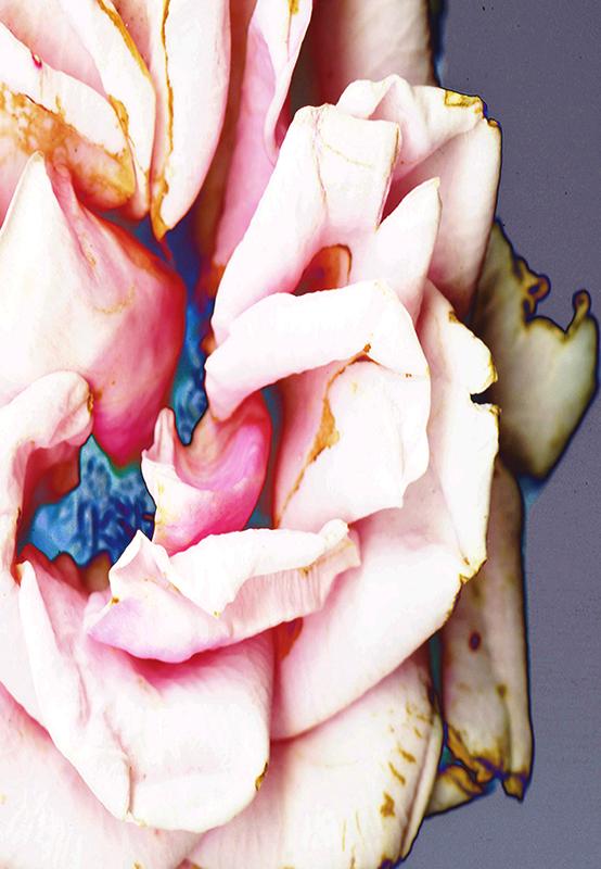 Soft Velvet Rose © Catherine Rutgers 2020