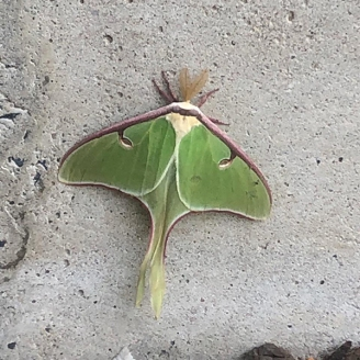 Luna Moth by Lillian Glavan Gaffney © 2020